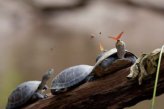 Butterfly feeding on turtle tears