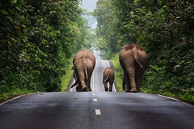 Elephants in Khao Yai National Park of Thailand