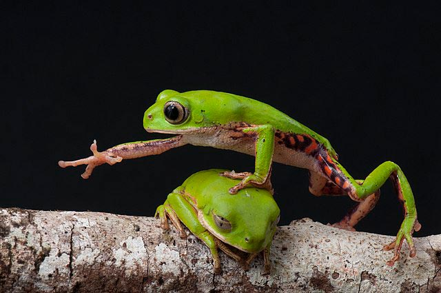 Frogs Phyllomedusa Brazil Wikimedia Commons Picture of the Year 2018
