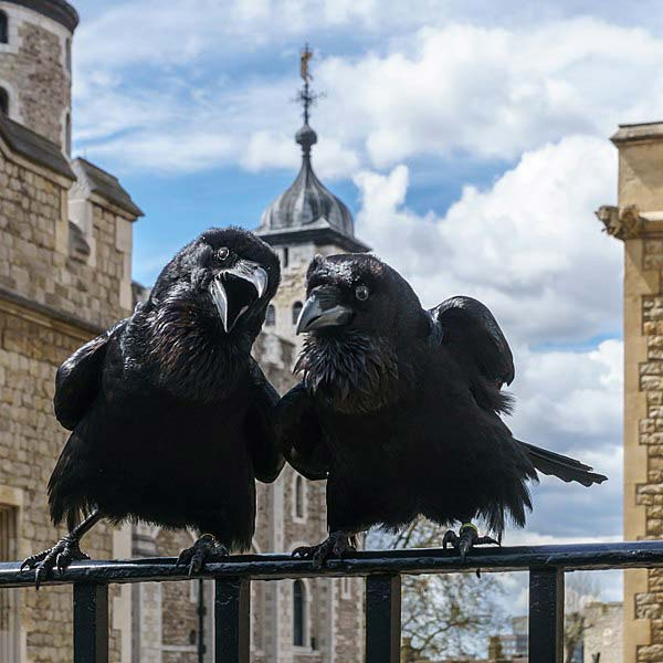 Jubilee and Munin Ravens on the Tower of London